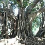 Ficus magnoloides