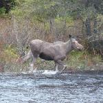 Moose comes to visit theSunny Rock B&B on the Drag River North of Toronto
