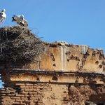 Storks nesting across road