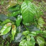 SV's organic, shade grown coffee plants