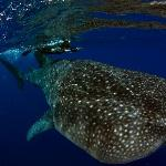 Divemaster Kerry with the whale shark.