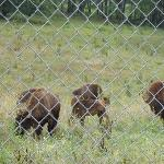 Bison in the enclosure