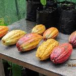 Different types of cocoa pods grown on estate