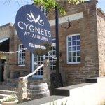 Cygnets at Auburn