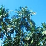 Palmiers sur le site