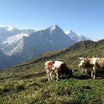 cows and mountain
