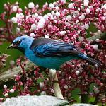 Blue Dacnis - male
