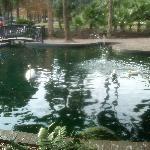 Lake Eola Swans.