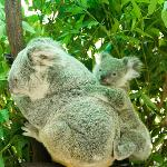 koalas at the nearby Cairns Zoo