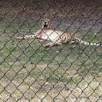 a yawning cheetah