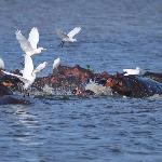 Hippos Queen Elizabeth Park