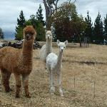 The Alpaca girls