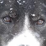 I have looked into the eyes of a Husky and will never be the same. Dog's name is UGLY.  Can see