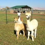 Welcome to Silbury Hill Alpacas