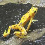 A Golden Frog