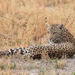 unser erster Leopard