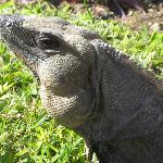 Iguane..il y en a partout!