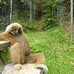 One of the gibbons