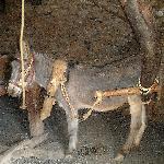Ein Esel soll das Mühlrad drehen