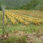 Black pineapple fields