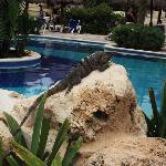 Iguana e piscina G.B.P.