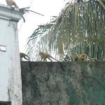 Monkeys across street from Villa