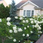 Hydrangea's leading to front entrance