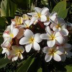 Plumeria bush