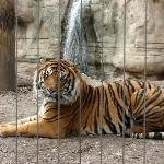 Handsome Sumatran tiger