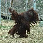 Very playful orangutan