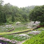 From the hillside, view of irises in the park