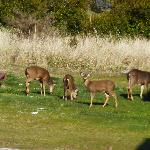 Deer outside my window