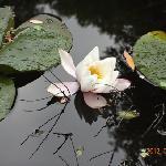 Flor de loto, Laguna