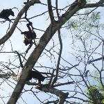 Morning visits from the Howler monkeys