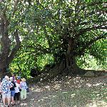 Walking tour views a large tree