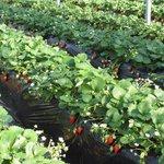 Tateyama Strawberry Picking Center