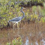 This photo of aTri Colored Heron was taken while on a Downwind Kayak Tour.