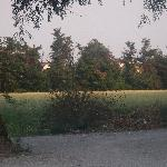 View of grain field and resident peacock