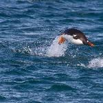 Gentoo Penguin arriving in the evening
