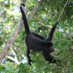 Howler monkey at breakfast