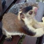 Friendly resident giant squirrel