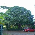 The 150 year old mango tree in front of the house.