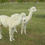 Jessie's alpacas