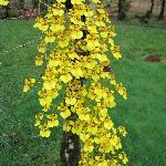 Golden Rain Orchid