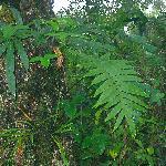 Calagala Fern. Powerful healing rain forest plant.