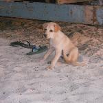 reserdent puppy
