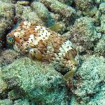 A little Pufferfish hiding in the rubble by the beach.
