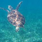 sea turtle, about 100m from hotel beach