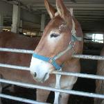 A mule at Riehl's farm, a stop on our tour.