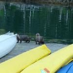 River Otters on dock at Orca Island Cabins
